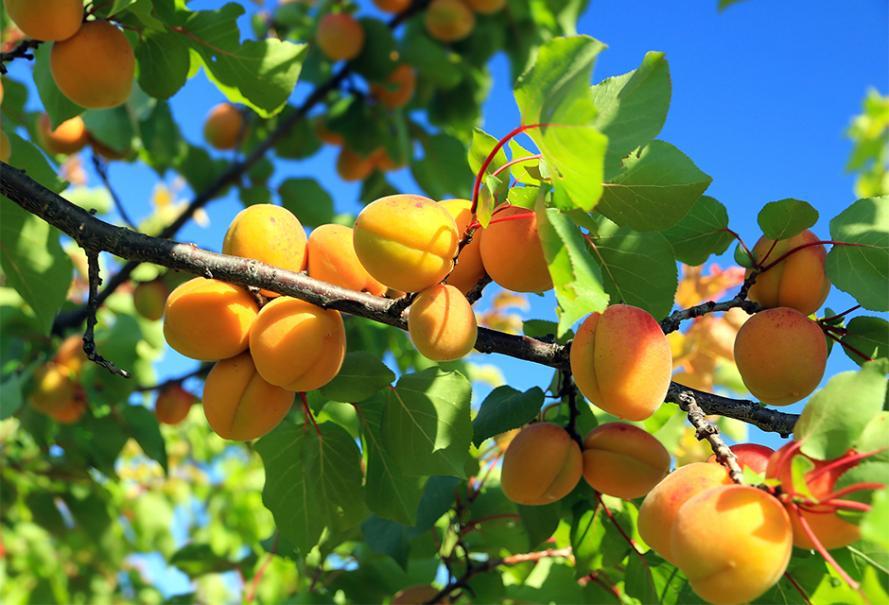 Fruits d'été : l'Abricot !